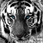 iPhone Wallpaper Tiger
